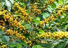 現烘咖啡豆-巴西摩吉安娜產區阿帕雷西達聖...