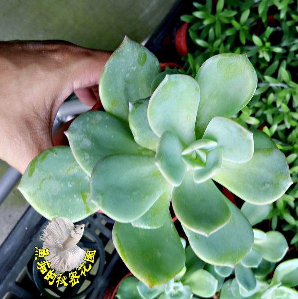 [白鳳] 活體多肉植物 3吋多肉植栽 組合盆栽 半日照佳 送禮首選小盆栽