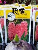 花花世界_季節花卉--風信子(粉橘色)--**球根植物**/3吋盆/高5-10CM/TC