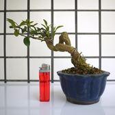 明陽盆栽園*【金豆柑】樹高13*左右20*幹徑3cm 小品盆景 好照顧 易開花結果