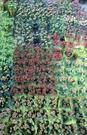 花花世界_季節花卉--長壽花(複瓣-不挑色),植株壽命長--易栽易管/5吋盆/高15-25公分/Tm