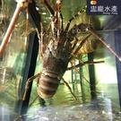 ㊣盅龐水產◇活體青龍◇300g-400g/隻 青殼龍蝦 團購