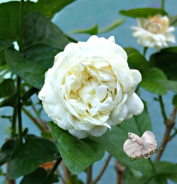 11月已經沒花! 超香 [虎頭茉莉花] 大茉莉花盆栽 6-8吋盆活體盆栽 多年生觀賞花卉 每年夏季是花期