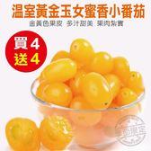 【果之蔬-買4送4】溫室黃金玉女蜜香小番茄 共8盒(300g±10%含盒重/盒)