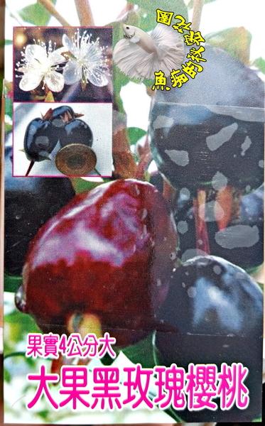 [大果黑玫瑰櫻桃小苗] 3寸黑盆 室外果樹 多年生食用果樹盆栽