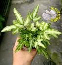 活體3吋盆栽 [麗莎鳳尾蕨盆栽 麗莎蕨] 蕨類盆栽 室內植物 可以淨化空氣