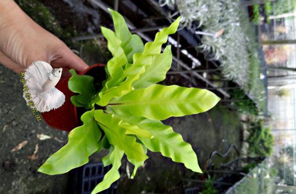 活體 山蘇小盆栽 室內植物3吋盆栽