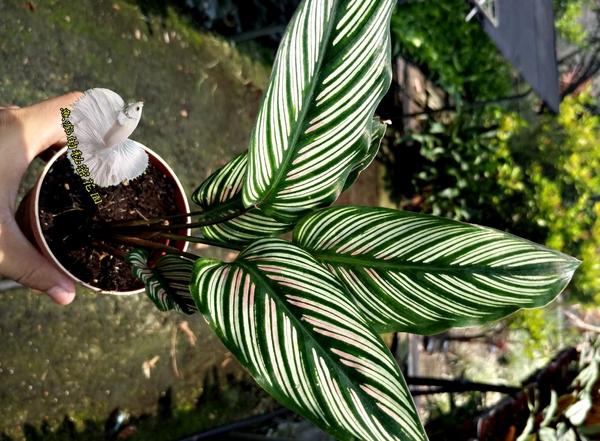 活體 [斜紋竹芋] 室內植物 3吋盆栽 送禮小品盆栽