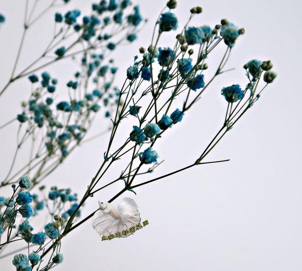 [藍色] 乾燥花滿天星花束 真花乾燥製成 ☆插花.天花板裝飾, 居家.店面.櫥窗擺飾.園藝☆