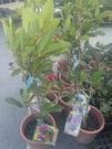 花花世界_綠化植物--古巴風鈴木--**全年開花**/6吋盆/高30-40cm/TC