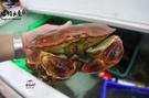 【禧福水產】愛爾蘭熟凍麵包蟹◇$特價600元/隻/約1.2kg◇最低價蟹黃飽滿蟹膏之王黃金蟹霸王蟹