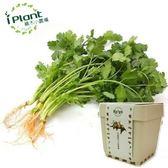 iPlant積木小農場-香菜