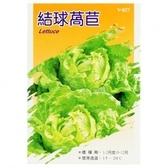 蔬菜種子-結球萵苣