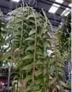 花花世界_季節花卉--十八棒石斛蘭--花朵超大/10株裝/長30-40公分/Ts