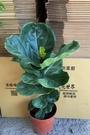 花花世界_室內盆栽--琴葉榕,葉片大形--常綠喬木/8吋盆苗/高60-75公分/Tm