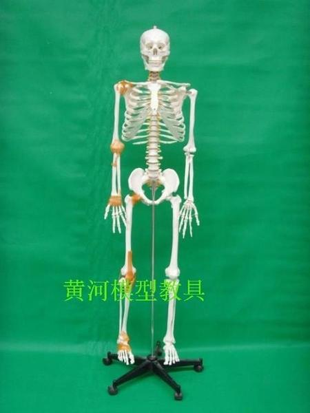 170cm人體骨骼模型 帶韌帶 人骨模型 整體骨架骨骼模型 教用醫學