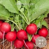 CARMO櫻桃蘿蔔種子 園藝種子(50顆) 【FR0015】