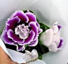 [紫色大岩桐] 室內植物 3吋活體花卉盆...