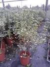 花花世界_灌木植物--斑葉海桐--**花葉海桐**/6吋/高30-40CM/TC