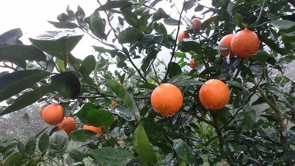 [台中]採果體驗-水寨一方農場(甜柿、桶柑、臍橙、嘉寶果)