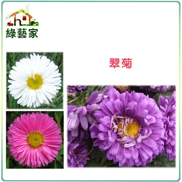 【綠藝家】H21.翠菊(蜜蕾,混合色,高25cm)種子30顆