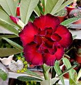 [鴻福] 新品種複瓣紅黑色沙漠玫瑰] 5寸盆 多年生觀賞花卉盆栽 室外半日照佳