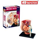 【4D Master】26060 立體拼組模型 人體解剖 教學系列 懷孕姙娠骨盆模型