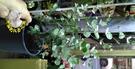 [大加檸胺 加寧桉盆栽]  尤加力乾燥花 尤佳力乾燥葉原料  5吋盆 多年生室外活體香草植物盆栽