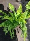 花花世界_常綠植物--斑葉波士頓腎蕨--...
