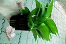 [黃金葛 綠蘿 水耕植物] 需自備花器 ...