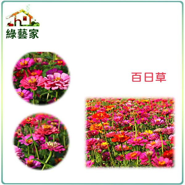 【綠藝家】大包裝H02.百日草種子50克