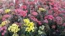 花花世界_季節花卉--長壽花(單瓣-不挑色),植株壽命長--盆栽花卉/5吋盆/高15-25公分/Tm