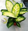 [瑪莉安粗勒草] 6吋盆 活體盆栽 送禮盆栽 室內盆栽 半日照佳