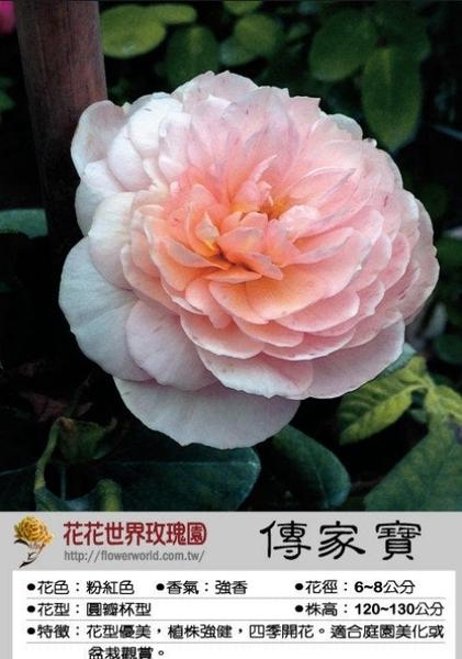 花花世界_玫瑰苗--傳家寶,Heritage--豐花 強香/4吋盆苗/高10~30公分/Tm