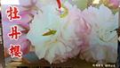 [牡丹櫻花] 櫻花苗 小櫻花樹苗 4寸黑軟盆 室外多年生觀賞花卉盆栽 換大盆或種地上快開花