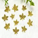 葉上黃金 ,兔耳草 12片裝