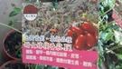 花花世界_水果果苗--甜女蕃茄--果皮薄甜度高/4.5吋盆/高25-35cm /TS