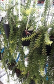 花花世界_蕨類植物--大葉垂枝石松--最耐旱的種類/4-5寸吊盆/Ts