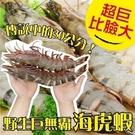 【WANG】 野生巨無霸比臉大海虎蝦X1...