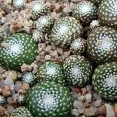 CARMO松露玉 Blossfeldia liliputana仙人掌種子(10顆)【D22-1】