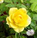 指定顏色 [黃色]小玫瑰小薔薇盆栽  3...