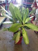 花花世界_喬木植物--穗花棋盤腳--**數量稀少**--/1尺盆/高90CM/TC