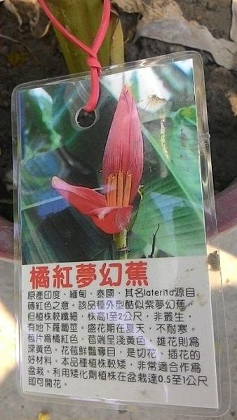 ** 橘紅夢幻蕉 ** 6吋盆/高35-50cm OvO