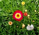 [紅色 瑪格麗特花盆栽 小雛菊盆栽] 5吋活體盆栽 送禮小品盆栽