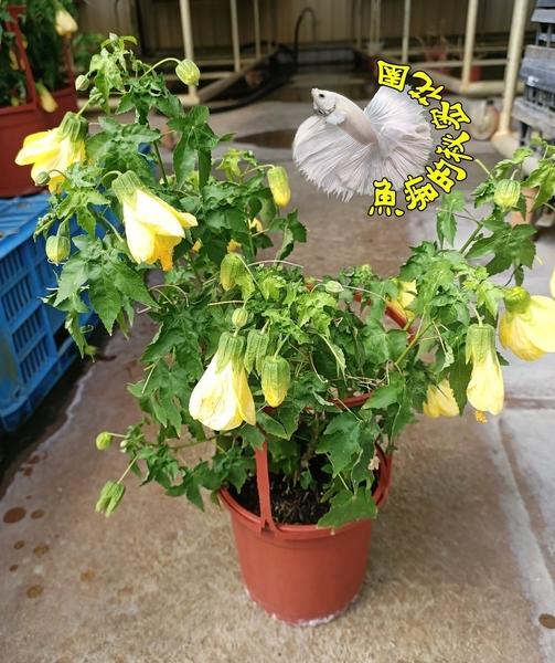 5吋盆 [黃色燈籠朱槿花盆栽] 多年生.種越久越大棵~  半日照佳. 要買幾盆先詢問有沒有貨!