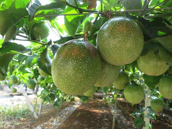 [南投]採果體驗-台一生態休閒農場〔蕃茄、百香果、草莓〕