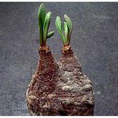 CARMO塊根櫻花大戟種子(1顆裝) 多肉植物種子【J36】