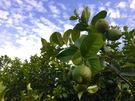 [屏東]採果體驗-天使花園休閒農場(檸檬...