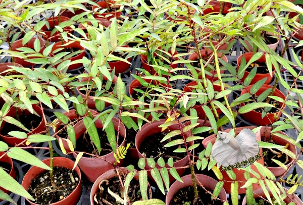 [紅刺蔥盆栽 ] 3吋盆活體香草植物盆栽, 可食用可炒蛋