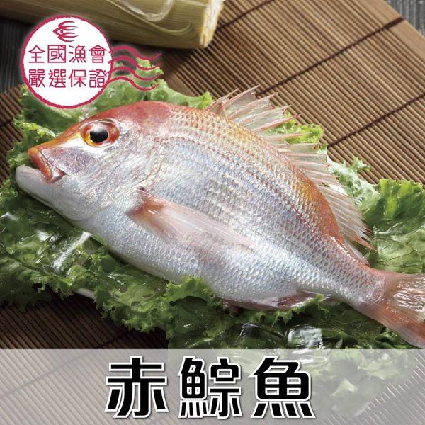 赤鯮魚1尾(250g/尾)